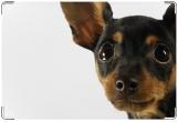 Обложка на ветеринарный паспорт, ветеринарный паспорт чи-хуа-хуа