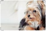 Обложка на ветеринарный паспорт, йоркширский терьер