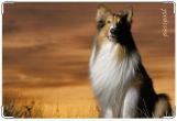 Обложка на ветеринарный паспорт, колли