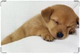 Обложка на ветеринарный паспорт, соня